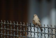 Kleiner grauer Spatz, der im Frühjahr am Tag des Drahtgeflechts sitzt Stockbilder