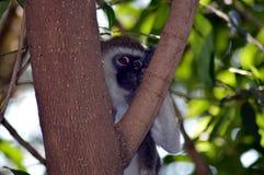 Kleiner grauer und schwarzer Affe auf einem Baum Lizenzfreies Stockfoto