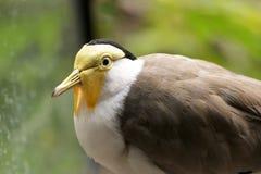 Kleiner grauer Vogel mit einer weißen Brust Stockfotos