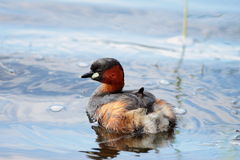 Kleiner Grebe Stockfotos