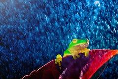 Kleiner grüner Baumfrosch, der auf rotem Blatt im Regen sitzt Stockfotos