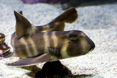 Kleiner Haifisch Lizenzfreies Stockbild