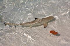 Kleiner Haifisch Stockbild