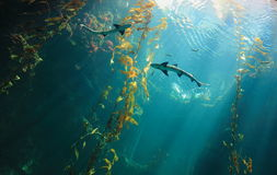 Kleiner Haifisch im Ozean Lizenzfreies Stockfoto
