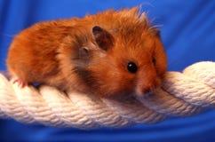 Kleiner Hamster Stockfoto