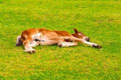 Kleiner Hengst, der auf dem Gras liegt Lizenzfreies Stockbild