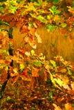 Kleiner Herbsteichenbaum Stockfoto