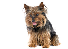 Kleiner Hund Lizenzfreie Stockfotos