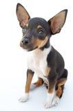 Kleiner Hund Stockbilder