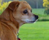 Kleiner Hund auf Alarm Lizenzfreie Stockfotos