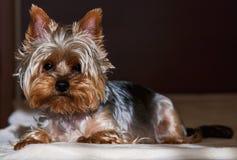 Kleiner Hund auf Bett Lizenzfreies Stockbild