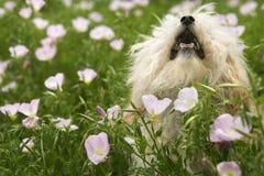 Kleiner Hund auf dem Blumengebiet. Lizenzfreies Stockbild