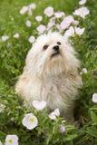 Kleiner Hund auf dem Blumengebiet. lizenzfreie stockfotografie