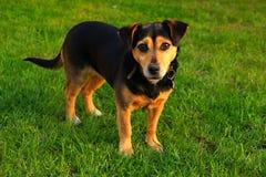 Kleiner Hund auf dem Gras Stockbild