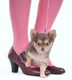 Kleiner Hund auf den Füßen Lizenzfreies Stockfoto