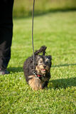 Kleiner Hund auf der Führung lizenzfreie stockfotografie