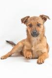 Kleiner Hund auf weißem Hintergrund Lizenzfreies Stockfoto