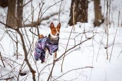 Kleiner Hund-basenji geht in einen schneebedeckten Waldwinter Stockfotografie