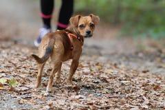 Kleiner Hund/Blick über Schulter Lizenzfreie Stockfotos