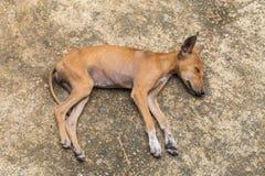 Kleiner Hund, der auf dem Boden schläft Lizenzfreies Stockfoto