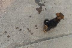 Kleiner Hund, der auf die Straße geht Stockfotografie