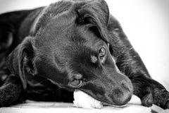 Kleiner Hund, der auf einem Knochen kaut Stockbild