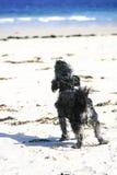 Kleiner Hund, der auf Strand bellt Lizenzfreies Stockbild