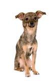 Kleiner Hund, der auf weißem Hintergrund stillsteht Stockfotos