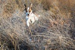Kleiner Hund, der durch Sträuche springt Stockfotos