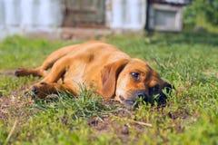 Kleiner Hund, der in einer Wiese liegt Lizenzfreie Stockfotografie