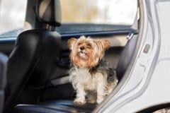 Kleiner Hund, der im Rücksitze eines Autos sitzt Stockbild