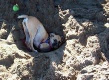 Kleiner Hund, der im Sand spielt Stockbild