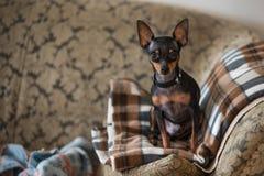 Kleiner Hund, der Kamera betrachtet Stockfoto