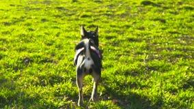 Kleiner Hund, der mit einem Stock, Zeitlupe 120 fps spielt stock video footage