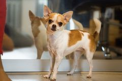 Kleiner Hund, der nahen Spiegel steht Chihuahuahund Spiegelreflexion eines Bauernhauseingangs lizenzfreie stockfotografie