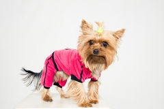 Kleiner Hund in der rosafarbenen Kleidung lizenzfreie stockfotos