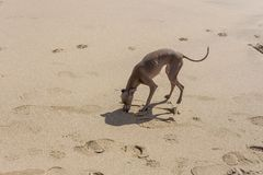 Kleiner Hund des italienischen Windhunds im Strand Stockfoto