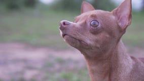Kleiner Hund drau?en stock footage