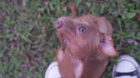 Kleiner Hund drau?en stock video footage