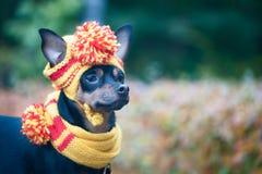 Kleiner Hund in einem Herbsthut und -schal Lustiger, lustiger Welpe Thema des Herbstes, kalt stockfotografie