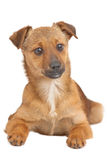 Kleiner Hund lokalisiert auf Weiß Lizenzfreie Stockfotos