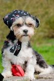 Kleiner Hund mit Bandana auf ihrem Kopf Lizenzfreies Stockfoto
