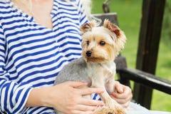 Kleiner Hund mit den Ohren geschmückt mit Pailletten Pflegen des yorkshir Stockfotos