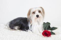 Kleiner Hund mit Rose stockfotos