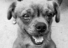 Kleiner Hund in Schwarzweiss Lizenzfreies Stockfoto