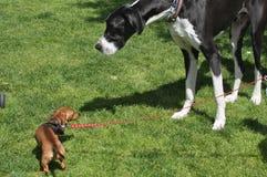 Kleiner Hund trifft großen Hund Stockfotos