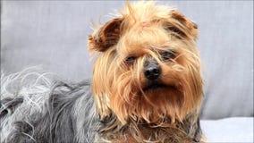 Kleiner Hund Yorkshire Terrier stock video footage