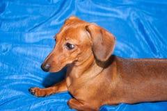 Kleiner Hund, züchten Lügen einer Rate auf blauem Gewebe Lizenzfreies Stockbild