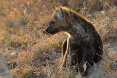 Kleiner Hyänenwelpe, der außerhalb seiner Höhle spielt Lizenzfreies Stockbild