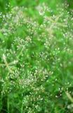 Kleiner Ironweed oder purpurrotes fleabane Stockbild